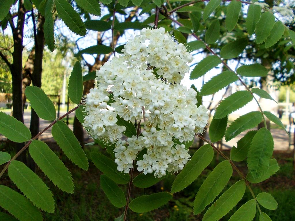 картинки цветы рябины